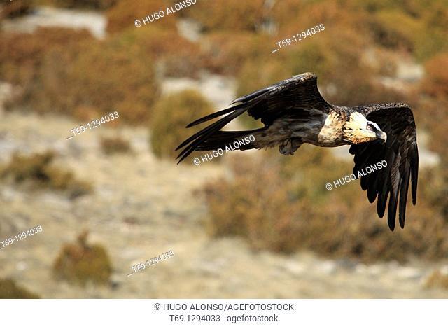 Bearded Vulture Gypaetus barbatus in flight