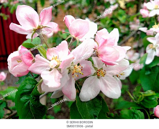 Flowers rose colors apple tree branch blossoms in summer day nature