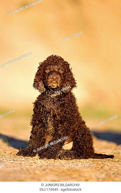 Irish Water Spaniel, Irish Water Spaniel. Puppy sitting