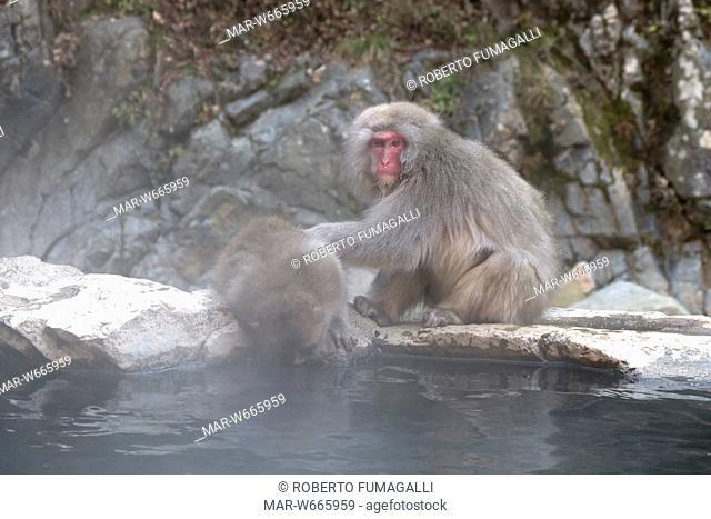 macachi giapponesi o macachi dalla faccia rossa, macaca fuscata, jigokudani monkey park, giappone