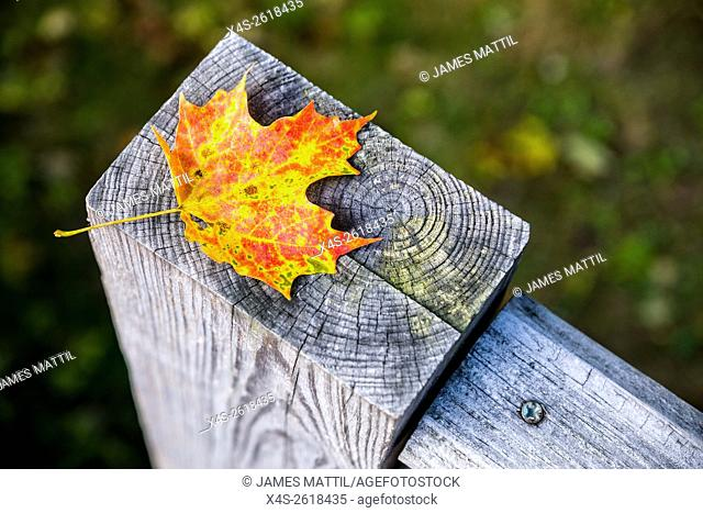 Maple leaf on wooden post with concentric growth rings