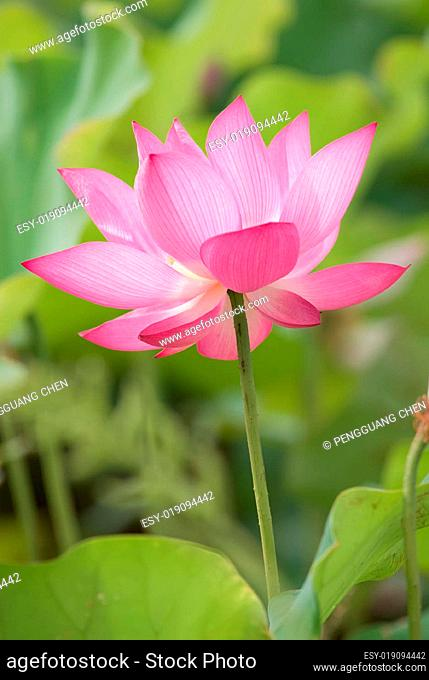 Beautiful lotus with green leaf around