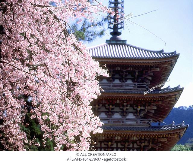 Cherry Blossom and Pagoda, Kyoto, Japan