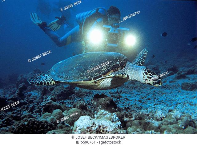 Sea Turtle (Cheloniidae) and scuba diver, underwater photograph, Indian Ocean