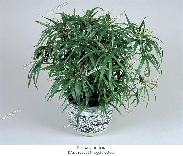 Houseplants - Cyperaceae. Papyrus (Cyperus papyrus 'Zumula')