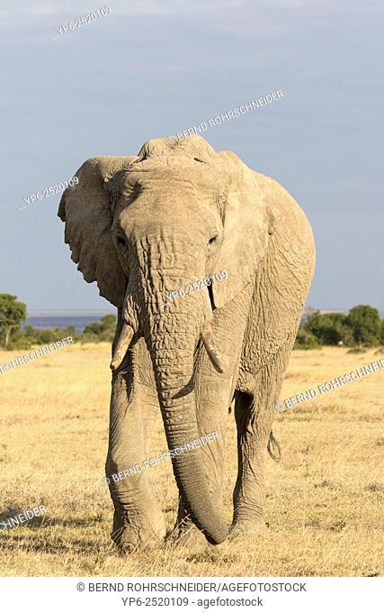 African Elephant (Loxodonta africana), Sweetwaters Game Reserve, Kenya