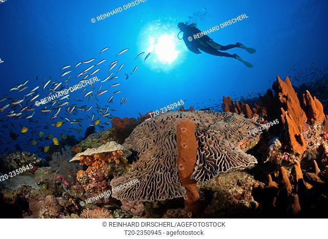 Coral Reef with Salad Coral, Pectinia lactuca, Kai Islands, Moluccas, Indonesia