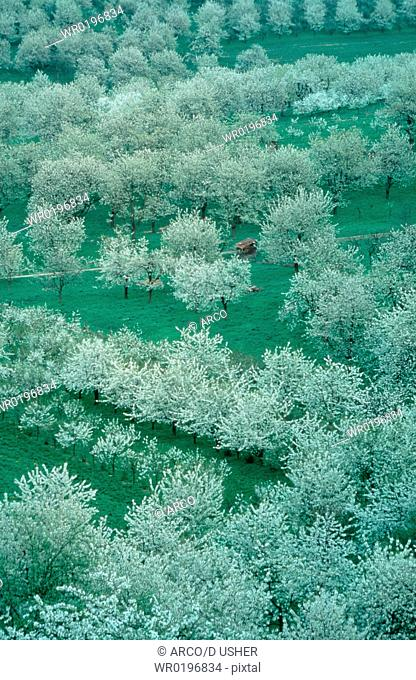 Cherry, plantation, in, spring, Hessen, Germany