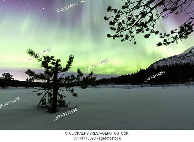 Northern Lights on lone tree, Skoddebergvatnet, Grovfjord, Troms county, Lofoten Islands, Norway