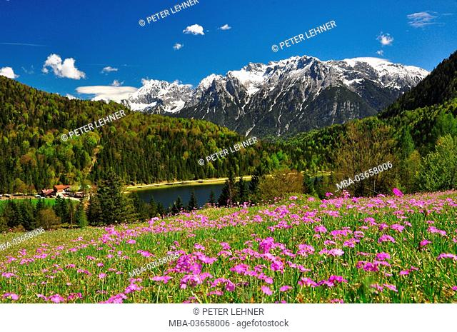 Germany, Bavaria, Mittenwald, Ferchensee, mountain pasture, Alpine flowers, Karwendel mountains