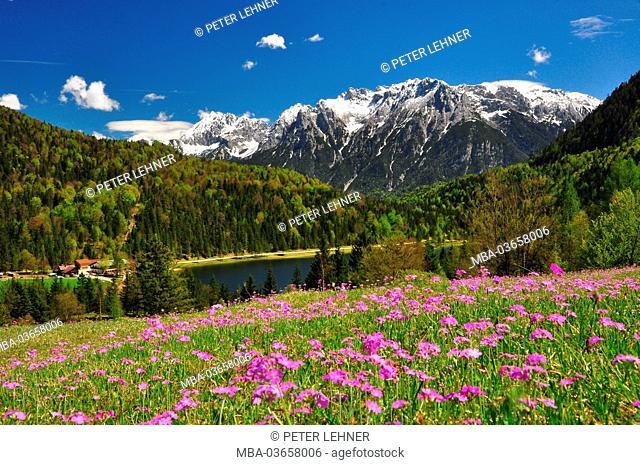 Germany, Bavaria, Mittenwald, Ferchensee, mountain pasture, Alpine flowers, Karwendel mountains