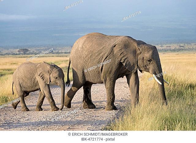 African elephants (Loxodonta africana), Cow with calf, Amboseli National Park, Kenya, East Africa, Africa