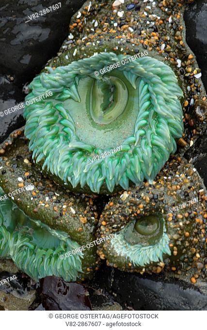 Green anemone, Yachats State Park, Oregon