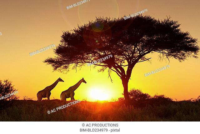 Giraffes under tree at sunset in Etosha National Park, Namibia