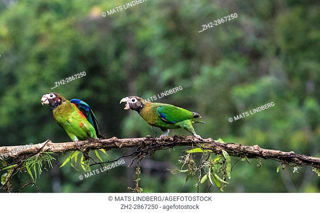 Brown-hooded parrot, Pyrilia haematotis, sitting in a tree, one is chasing the other away, at Laguna del Lagarto, Boca Tapada, San Carlos, Costa Rica