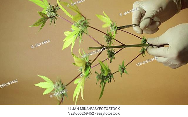 Hands trimming and manicuring marijuana buds and leaves