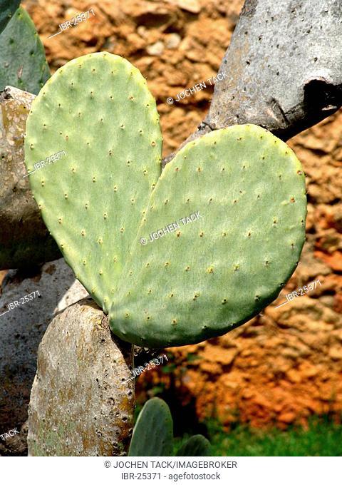 ESP, Spain, Balearic Islands, Mallorca : Leaf of a cactus in shape of a heart
