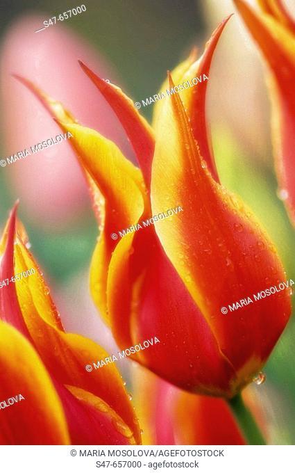 Red Tulip. Tulipa hybrid. April 2007, Maryland, USA