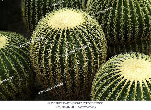 Round Golden barrel cactus