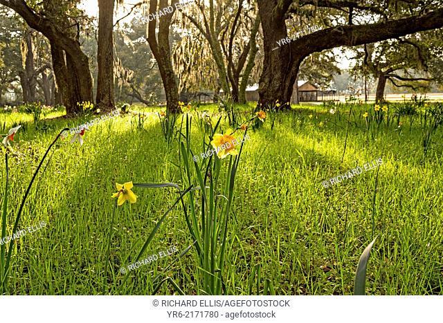 Old live oak trees covered in Spanish moss at Botany Bay, Edisto Island, South Carolina