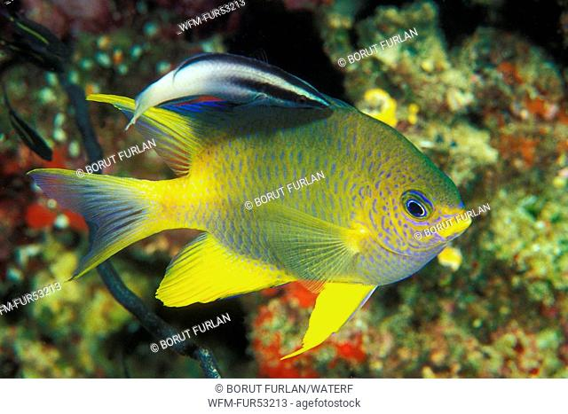 Golden Damsel cleaned by Cleaner Wrasse, Amblyglyphidodon aureus, Labroides dimidiatus, Manado, Sulawesi, Indonesia