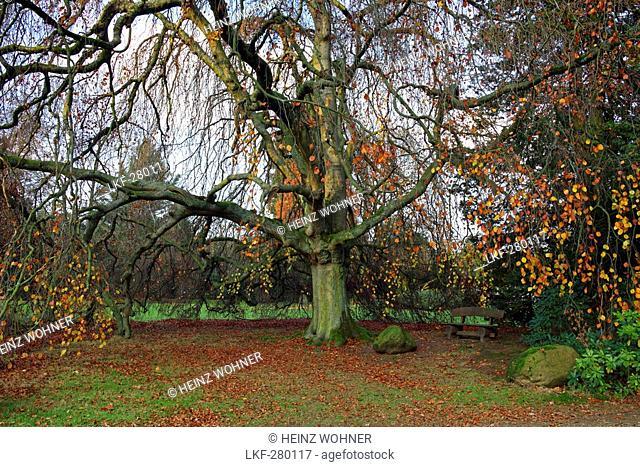 Beech tree, castle park in autumn, Lembeck castle, Dorsten, Muensterland, North Rhine-Westphalia, Germany