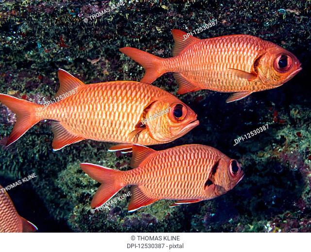 Two Bigscale Soldierfish (Myripristis berndti) and one Brick Soldierfish (Myripristis amaena) off Kauai, Hawaii, during the spring; Kauai, Hawaii