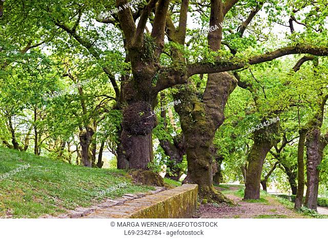 Grove of oak trees (Quercus) in public Alameda Park, Parque Alameda, next to the historic center of Santiago de Compostela, A Coruna, Galicia, Spain, Europe