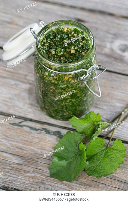 Garlic mustard, Hedge Garlic, Jack-by-the-Hedge (Alliaria petiolata), pesto is made from Hedge Garlic