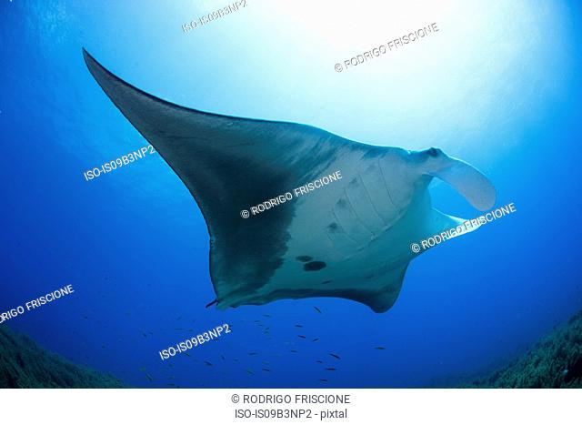 Giant manta swimming in caribbean clear water, Cancun, Mexico