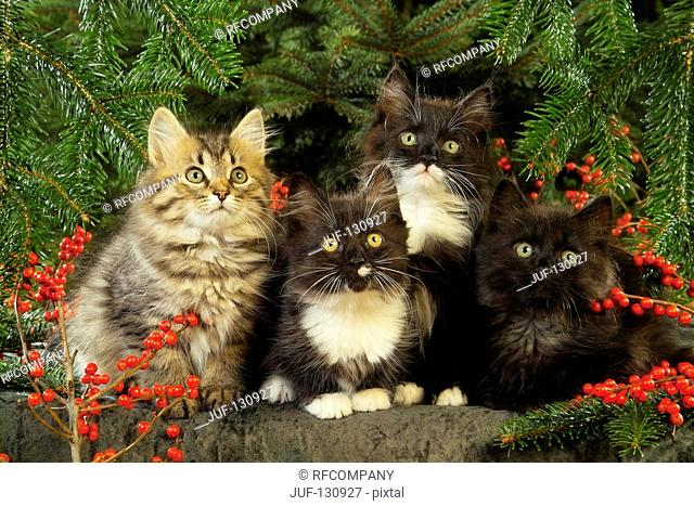 four Maine Coon kittens between twigs