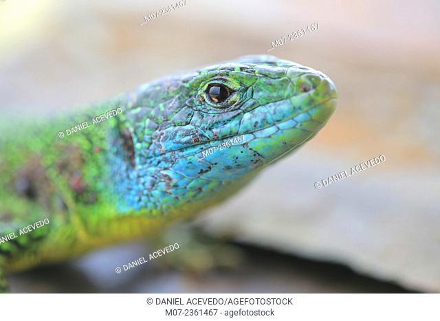 Lacerta viridis, Spain, Europe European green lizard