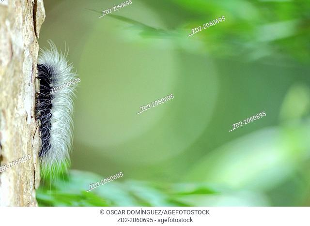 Hairy caterpillar on tree trunk in rainforest. Cat Tien National Park. Vietnam