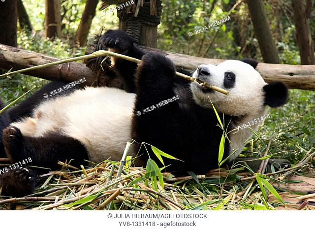 Panda bear eating bamboo inside Chengdu's breeding center