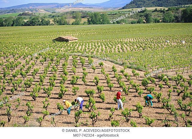 Working in Rioja vines, Spain