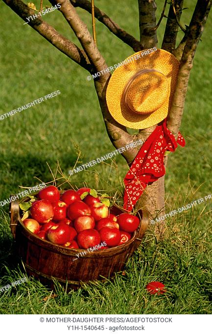 Apple harvest-- A full bushel basket of ripe perfect Staymans winesap apples in Antique wooden baskeapples sits beside an apple tree holding a straw hat and red...