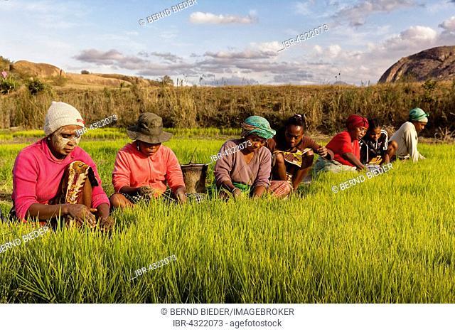 Women working in rice fields, paddy farmers, Madagascar