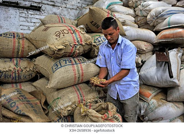 coffee producer showing seeds, region of Armenia, department of Quindio, Cordillera Central of the Andes mountain range, Colombia, South America