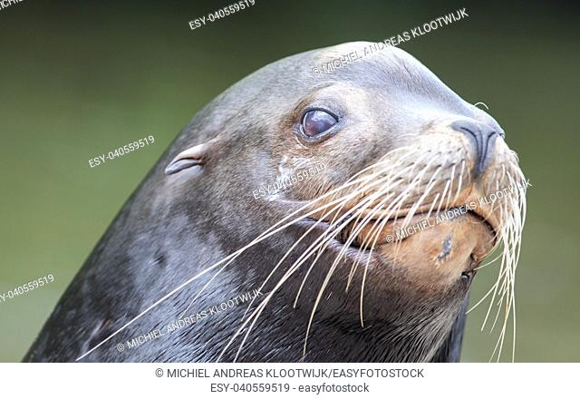 Close-up of a California sea lion (male)