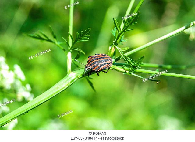 red striped bedbug on green flower stem in the forest