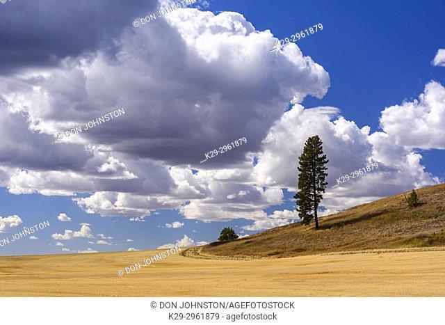 Lone tree overlooking agriultural terrain, south of Spokane US 195, Washington, USA