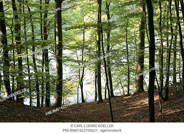 Beech Forest, Feldberger Seenlandschaft, Mecklenburgische Seenplatte district, Mecklenburg-Vorpommern, Germany / Buchenwald, Feldberger Seenlandschaft