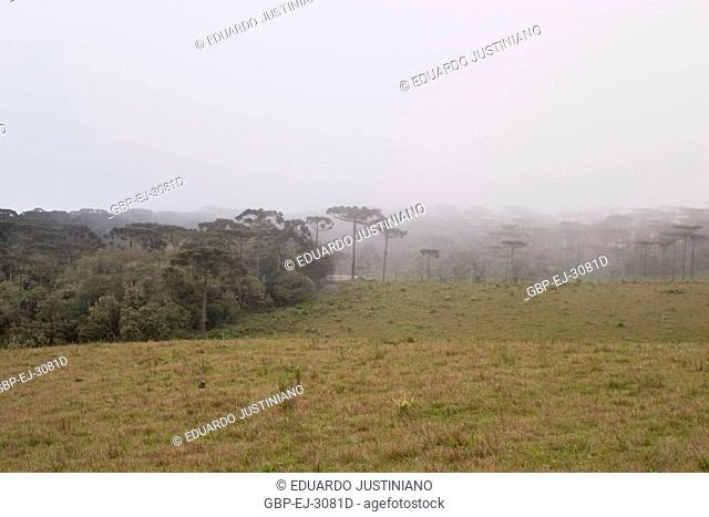 Campos of Top with Forest of Araucaria and Fog, São José dos Ausentes, Rio Grande do Sul, Brazil