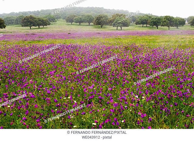 Spring wildflowers. Cáceres province , Spain