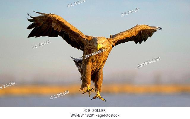 white-tailed sea eagle (Haliaeetus albicilla), landing white-tailed sea eagle, front view, Hungary, Kiskunsag National Park