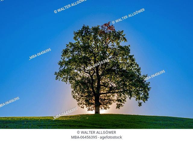 Single common oak (Quercus robur), close Füssen, east Allgäu, Bavaria, Germany, Europe
