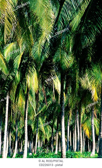 Coconut trees. Pinney's Beach. Nevis. St. Kitts & Nevis. West Indies. Caribbean