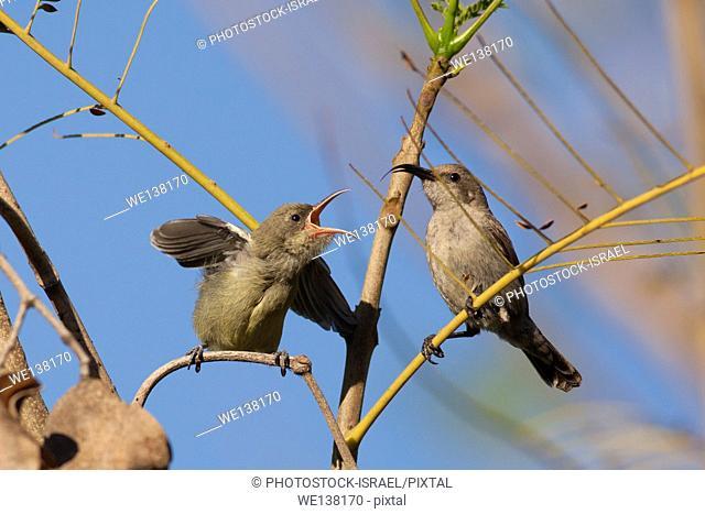 Female Palestine Sunbird or Northern Orange-tufted Sunbird (Cinnyris oseus) feeds a young hatchling. A small passerine bird of the sunbird family which is found...