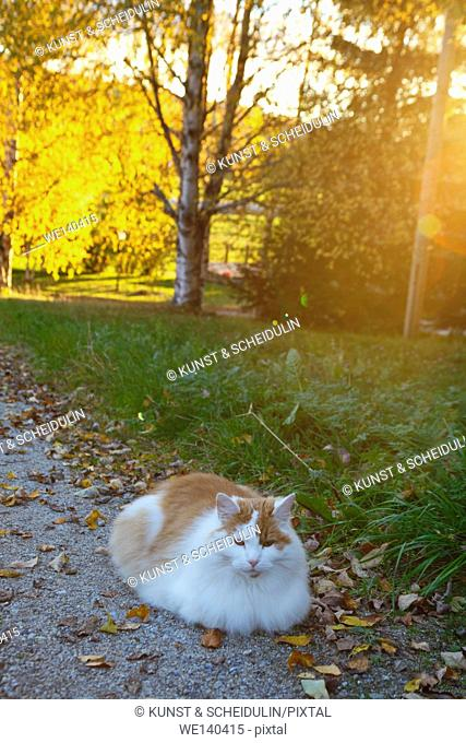 Tabby cat lying on a gravel path in a garden at sunset in autumn