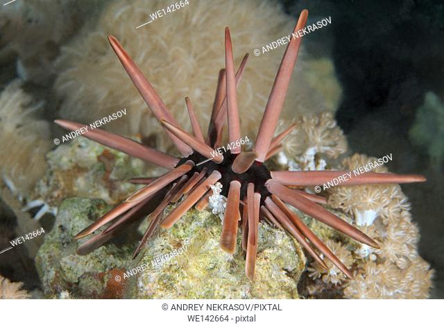 Slate pencil urchin, Brown pencil urchin, red slate pencil urchin, or red pencil urchin (Heterocentrotus mamillatus) Red sea, Egypt, Africa
